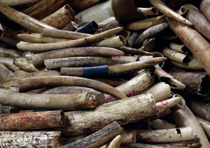 Der Handel mit Elfenbein aus illegalen Quellen bedroht zahlreiche Elefantenpopulationen.